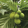 breadfruit (ulu) bunch on branches